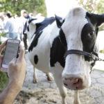 Una app argentina permite chatear con vacas